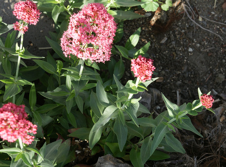 deep roots: Red Valerian, Centranthus ruber, spur valerian, ornamental perennial herb with opposite leaves