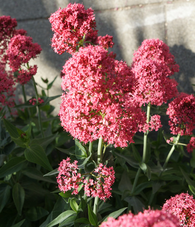 valerian: Red Valerian, Centranthus ruber, spur valerian, ornamental perennial herb with opposite leaves