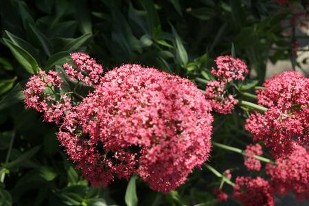 Red Valerian, Centranthus ruber, spur valerian, ornamental perennial herb with opposite leaves