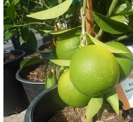 rutaceae: California naranja Navel Foto de archivo