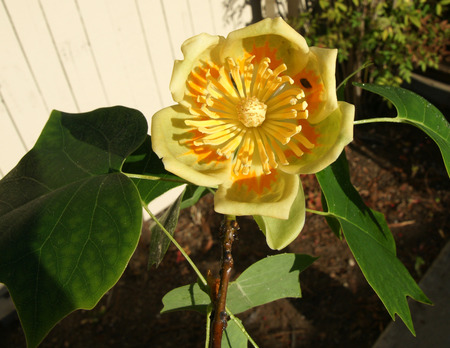 carpels: American tulip tree, tulip poplar, fiddle-tree, Liriodendron tulipifera, tall tree with fissured bark, alternate four lobed leaves with wedge-shaped base and solitary pale yellow cup-shaped flowers with numerous stamens and many carpels, planted as roadsi
