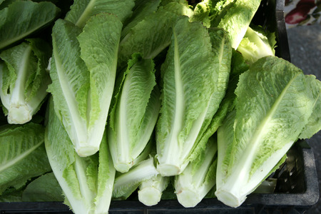 lactuca: Lactuca sativa var longifolia  Romaine Lettuce , cultivar with longer leaves forming a compact elongated head, thick leaf ribs with buttery consistency and taste, used in salads Stock Photo