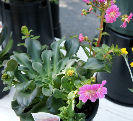 branched: Lewisia cotyledon  Sunset Group , evergreen perennial with leaves in a rosette and flowers of various colours on slender branched stalk Stock Photo
