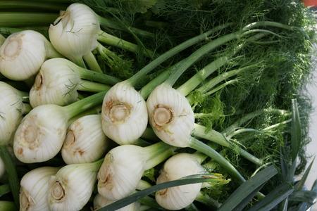charnu: Fenouil de Florence, Finocchio, Foeniculum vulgare var azoricum, un cultiar de fenouil avec des bases charnues gonfl�es blanches de feuilles formant ampoule comme la structure, utilis� comme l�gume cru et cuit