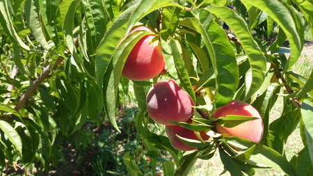 red skinned: Red peach, Prunus persica, nearly globose red skinned fruit with yellow blush, flesh yellow, sweet and very juicy