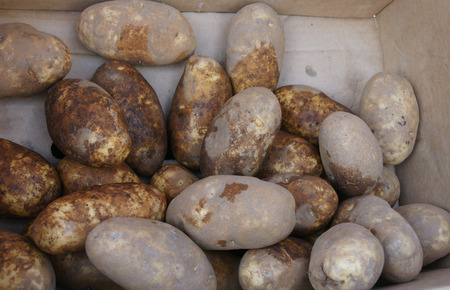 russet potato: Russet potato, Solanum tuberosum, rough textured brown skinned cultivar with few eyes, white flesh with less water, ideal for french fries, mashing and baking