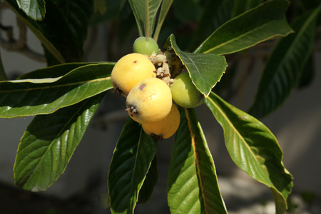 globose fruits: Loquat, Eriobotrya japonica, evergreen tree with alternate leaves dark green above, velvet beneath, fruits yellow when ripe, globose to oval, 3-5 cm, with sweet to subacid flesh