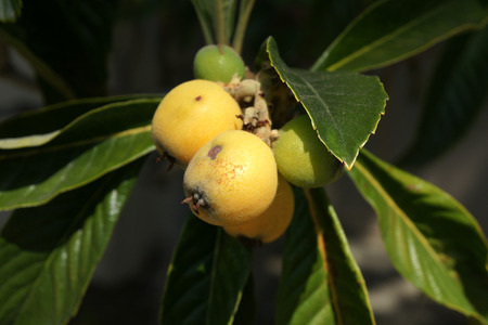 alternate: Loquat, Eriobotrya japonica, evergreen tree with alternate leaves dark green above, velvet beneath, fruits yellow when ripe, globose to oval, 3-5 cm, with sweet to subacid flesh