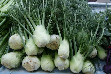 foeniculum vulgare: Florence fennel, Finocchio, Foeniculum vulgare var azoricum, a cultiar of fennel with fleshy inflated white leaf bases forming bulb like structure, used as vegetable raw and cooked
