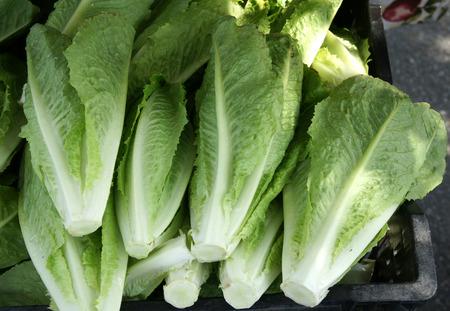 longer: Lactuca sativa var longifolia  Romaine Lettuce cultivar with longer leaves forming a compact elongated head