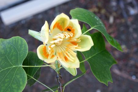 American tulip tree photo