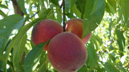 globose: Red peach, Prunus persica, nearly globose red skinned fruit with yellow blush, flesh yellow, sweet and very juicy