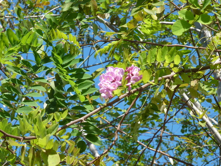 drooping: Robinia pseudoacacia  Purple robe , Purple Robe Black Locust, deciduous tree with pinnate leaves and purple pink pea shaped flowers in drooping racemes