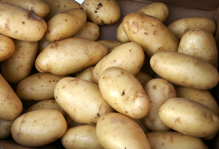 tuberosum: Yukon Gold Potato, Solanum tuberosum, a cultivar with large oval smooth pale yellow skinned tubers and yellow coloured flesh with high moisture content