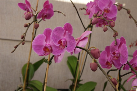 elongated: Phalaenopsis  Pink , cultivar with pink flowers with darker coloured lip, on elongated branched stalk