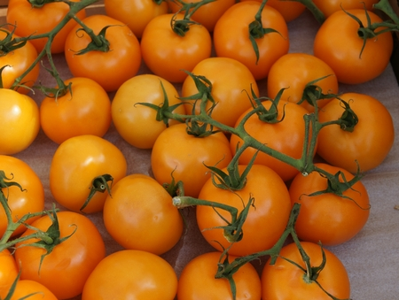 carotene: Orange tomato, Sun Gold tomato, Solanum lycopersicum, tall cultivar with golden yellow fruits in bunches, high in beta carotene, minerals, with sweet fruity flavor