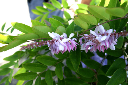 Chinese indigo, Indigofera incarnata, deciduous shrub with pinnate compound leaves and pink pea like flowers, suited for semishaded areas Stock Photo