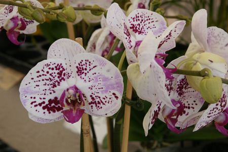 cm: Phalaeonopsis  Chain Xen Pearl , cultivar with large white flowers about 7 cm broad with wine red spots and wine red lips