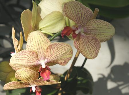 vertically: Phalaeonopsis  Kaleidoscope , Phalaeonopsis Baldan s kaleidoscope, cultivar with yellow flowers with reddish purple stripes running vertically, and red lips Stock Photo