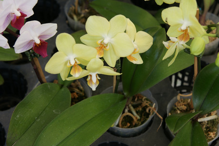 brownish: Phalaeonopsis  Brother Lawrence , yellow flowered cultivar with fragrant medium sized flowers and brownish lip