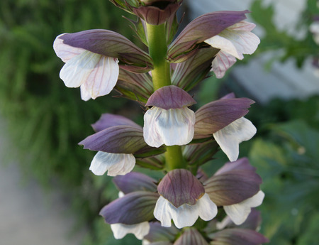 Acanthus mollis, bear s breaches, perennial herb with shining green deeply cut leaves and white flowers in elongated spikes and subtended by purplish bracts, central bract spine tipped