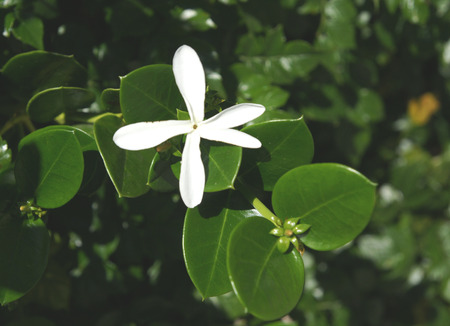 globose: Natal plum, Large Num-num, Carissa macrocarpa, amatungulu, evergreen shrub from South Africa with thorny stems, dark green leaves, large white flowers and globose crimson fruits, 4-5 cm in diam, eaten fresh made into jellies, pies, jams and sauces Stock Photo