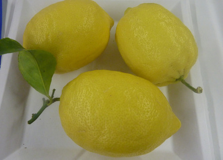 throughout:  Eureka lemon, Citrus limon, popular lemon cultivar with large oblong fruits with thick rind and juicy flesh, available throughout the year