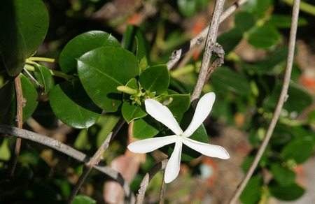 globose fruits: Natal plum, Large Num-num, Carissa macrocarpa, amatungulu, evergreen shrub from South Africa with thorny stems, dark green leaves, large white flowers and globose crimson fruits, 4-5 cm in diam, eaten fresh made into jellies, pies, jams and sauces Stock Photo