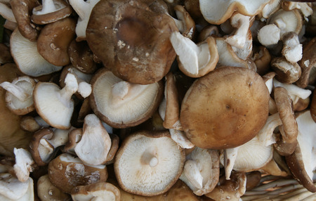 gills: Shiitake, Lentinula elodes, edible mushroom popular in  Japan, white stipe, gills, broad cap, usually sold dried, cultivated on logs, used in soups and steamed dishes