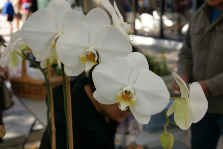 branched: Phalaenopsis  Sogo White , cultivar with large white flowers and beatifully marked orange and yellow lip, on long branched stalk