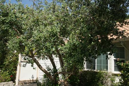 Guayaba Piña Guavasteen Acca Sellowiana Arbusto Siempre Verde O