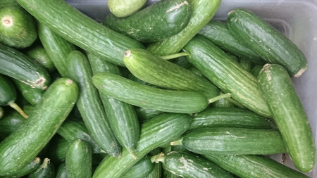 cucumis sativus:  Persian cucumber, Cucumis sativus, cultivar with thinner fruits rarely more than 5 cm thick, with thin nonbitter skin and tender flesh, popular in salads