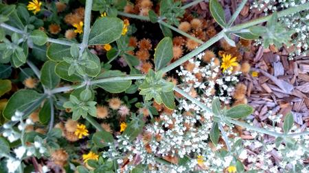 hemispherical: Eriogonum giganteum, St  Catherine s lace, Hemispherical evergreen shrub with oval shaped grey leaves and small white flowers covering the whole bush