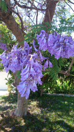 Jacaranda, Blue Jacaranda, Jacaranda mimosifolia, large tree with bipinnate compound leaves with small leaflets and bluish purple flowers in large clusters, and small tough pods, avenue tree