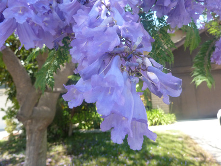 leaflets:  Jacaranda, Blue Jacaranda, Jacaranda mimosifolia, large tree with bipinnate compound leaves with small leaflets and bluish purple flowers in large clusters, and small tough pods, avenue tree