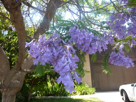 large tree:  Jacaranda, Blue Jacaranda, Jacaranda mimosifolia, large tree with bipinnate compound leaves with small leaflets and bluish purple flowers in large clusters, and small tough pods, avenue tree