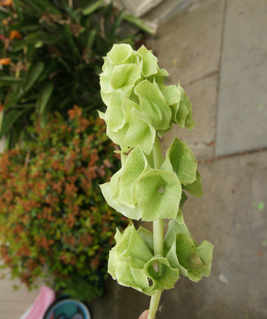 prominent: Bells of Ireland, Shell flower, Moluccella laevis, ornamental herb with spikes of flowers with minute white petals and prominent green calyx lobes, used in floral decorations