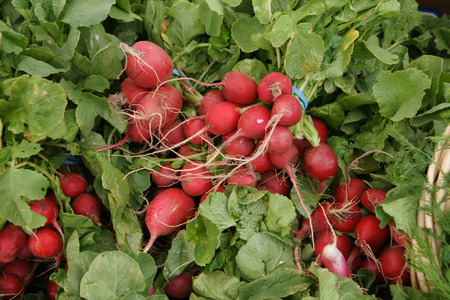 globose: Red radish, English radish, Raphanus sativus, vegetable crop with globose to slightly elongated small red fleshy root with white flesh, used in salads