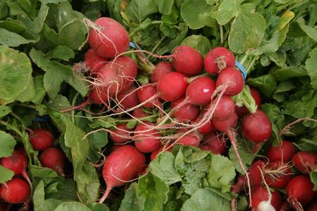 charnu: Radis rouge, radis anglais, Raphanus sativus, culture de l�gumes avec globuleux l�g�rement allong� petite racine charnue rouge � chair blanche, utilis�e dans les salades Banque d'images