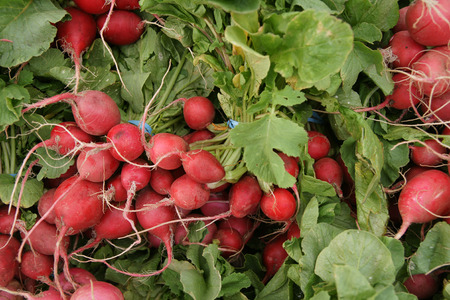 elongated: Red radish, English radish, Raphanus sativus, vegetable crop with globose to slightly elongated small red fleshy root with white flesh, used in salads