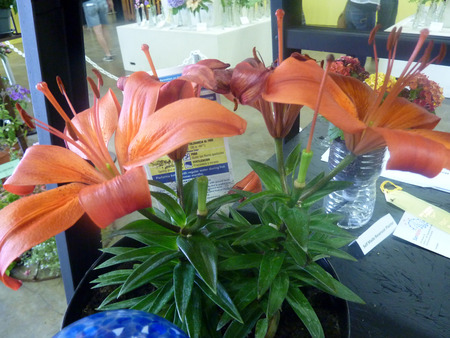 erect: Asiatic lily, hybrid cultivar with medium sized plants and erect to spreading large flowers, without scent, excellent for borders Stock Photo