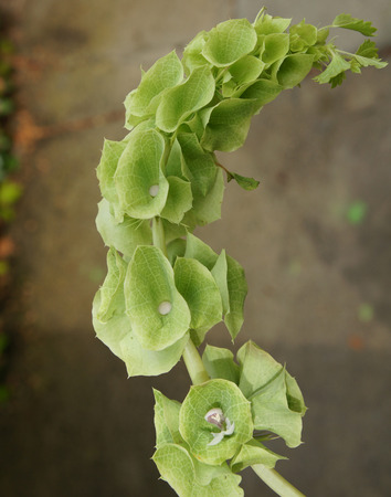 laevis: Bells of Ireland, Shell flower, Moluccella laevis, ornamental herb with spikes of flowers with minute white petals and prominent green calyx lobes, used in floral decorations