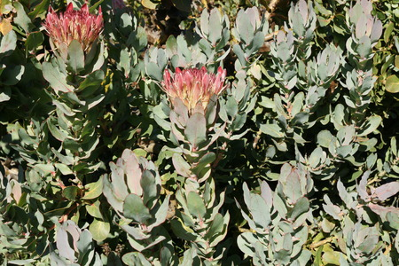 bracts large: Protea eximia, broad-leaf sugarbush, duchess protea, erect shrub with oval leaves and large terminal flower heads with spoon shaped floral bracts