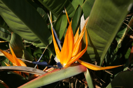 smaller: Bird of Paradise, Strelitzia reginae, ornamental perennial herb with banana like smaller leaves and brilliant orange coloured flowers with bird like appearance, enclosed in spathe