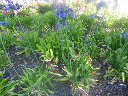 sized: Agapanthus   Elaine , cultivar with light green broad leaves and violet blue flowers in compact umbels on medium sized scapes