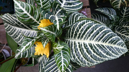 animal vein: Zebra plant, Aphelandra squarrosa, ornamental perennial herb with dark green large leaves with white veins, foliage plant, sometimes producing yellow flowers under suitable conditions