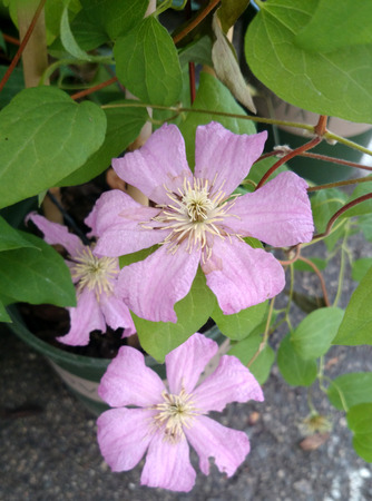 maintain:  Clematis  Comtesse de Bouchaud , cultivar with light green leaves and large rose-pink flowers 12-15 cm across, prolific blooming, easy to maintain