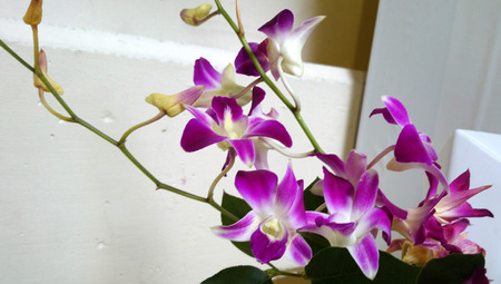 sheathing: Dendrobium, orchid with pseudobulbs, sheathing leaf bases, broad leaves and attractive flowers on long inflorescence Stock Photo