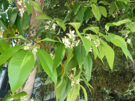 Queensland box, Brisbane box, Lophostemon confertus, evergreen tree with green ovate glossy leaves, small white flowers in threes and woody capsule fruit, common avenue tree