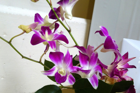 broad leaf: Dendrobium, orchid with pseudobulbs, sheathing leaf bases, broad leaves and attractive flowers on long inflorescence Stock Photo